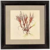Jubata Seaweed Print